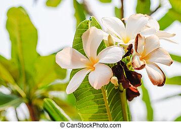 hvid blomstrer, i, plumeria