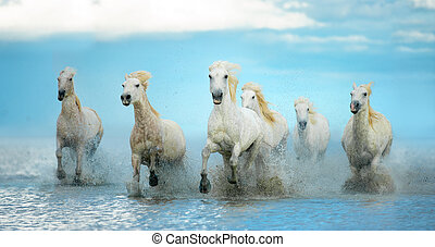 hvid, camargue, heste, løb, fri, på, den, vand