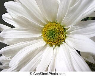 hvid daisy