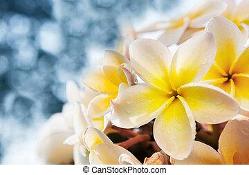 hvid, frangipani, blomster, bouquet, hos, frisk vand, dug,...