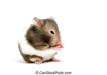 hvid, hamster, isoleret