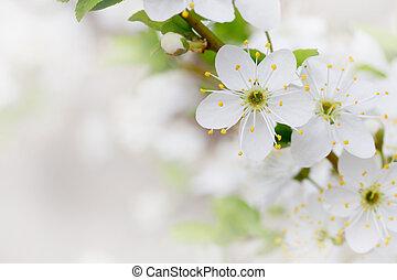 hvid, kirsebær, blomster