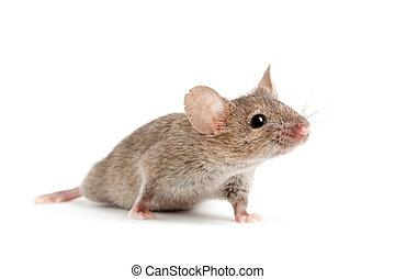 hvid, mus, isoleret