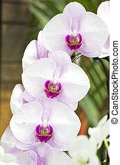 hvid, orkidé, ind, natur, baggrund