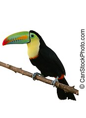 hvid, toucan, baggrund, farverig, fugl