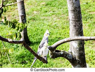 hvil, cockatiel, branch, papegøje