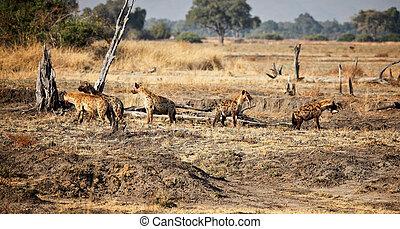 hyæne, gruppe