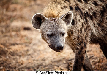 hyæne, portræt