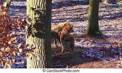 hyène tachetée, zoo