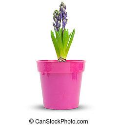 hyacint, roze, op, achtergrond, witte , pot