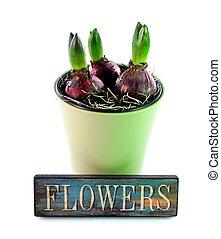Hyacinth - 2