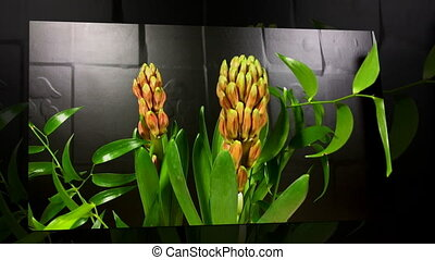 Hyacinth Blooming on Black Background Time Lapse