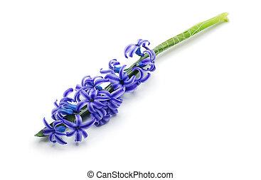 hyacinth, blue flowers
