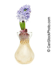 Hyacinth bulb and flower in a glass propogation vase