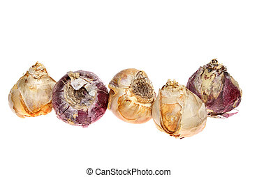 Hyacinth bulbs in a row isolated against white