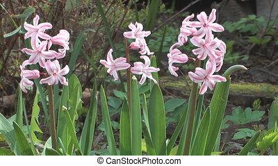 Hyacinth. - Close up shot of beauty pink hyacinth on...