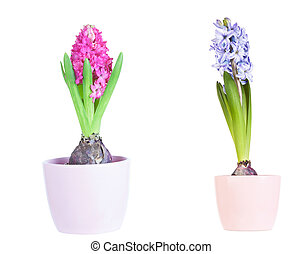 hyacinth flower bulbs in pot isolated on white background