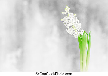Hyacinth flower in a bathroom window