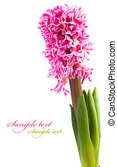 Hyacinth flower isolated on a white background for your ...