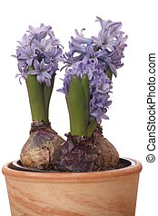 Hyacinth flowers growing in a pot isolated on white