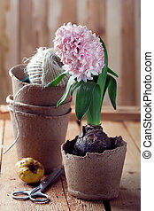 Hyacinth flowers in compostable pots, flower bulbs and gardening tools on old wooden table, toned photo