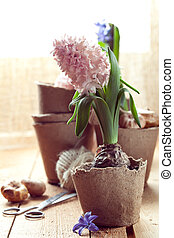 Hyacinth flowers in compostable pots, flower bulbs and gardening tools on old wooden table near window