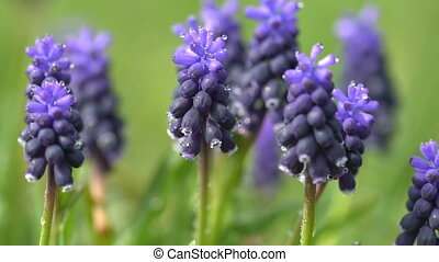 Hyacinth flowers in dew drops on a background of green grass
