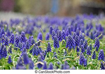 hyacinth flowers in farm