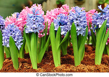 hyacinth flowers in the garden