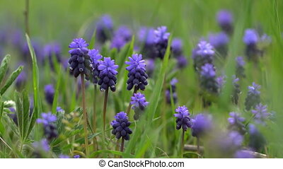 Hyacinth flowers on a background of green grass