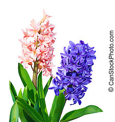Hyacinth - Fresh hyacinth flower plants isolated on white ...