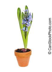 Hyacinth in a pot