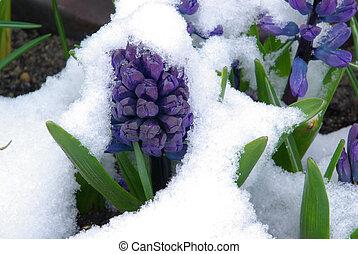 hyacinth in snow 01