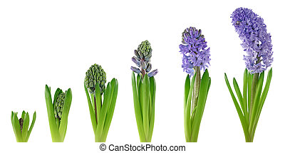 Hyacinth isolated on white background. Stages of growth.