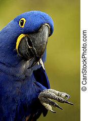 Hyacinth Macaw - A hyacinth macaw (Anodorhynchus ...