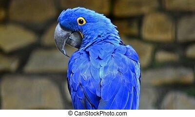 hyacinth macaw - blue parrot portrait close up