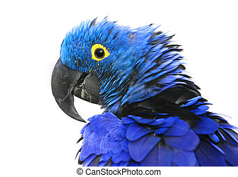 Hyacinth Macaw - Brilliant blue hyacinth macaw with a yellow...