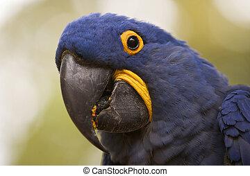 hyacinth macaw, closeup