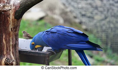 Hyacinth Macaw Eats Seeds - Beautiful Hyacinth Macaw...