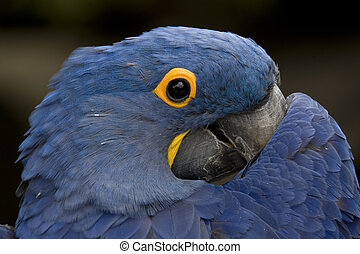 Hyacinth Macaw Playing Peek A Boo South America