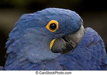 Hyacinth Macaw Peek a Boo