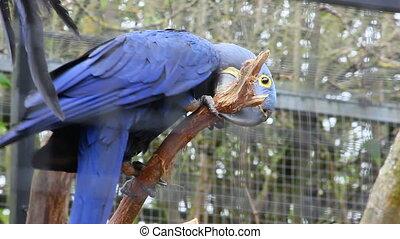 Hyacinth Macaw Perched on Tree Bran