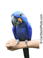 Hyacinth Macaw perching on human hand and eating sun flowers seed by mouth bill isolated white background ,Hyacinth Macaw biggest of parrot birds and very rare seeking in nature wild