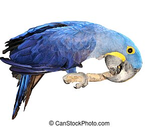 Hyacinth Macaw - My name is C-C-C-Leo
