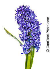 Hyacinth move/blue flowers isolated on white background