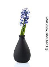Hyacinth on white background