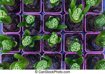 hyacinth set