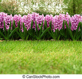 hyacinth - some lilac blossom on a green grassland