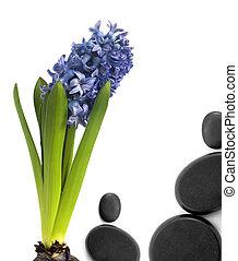 hyacinth with black stones