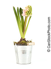 Hyacinth with half opened blossom - Hyacinth in a silver pot...